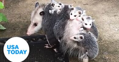 All aboard! There's nothing a momma opossum won't do for her babies. | USA TODAY