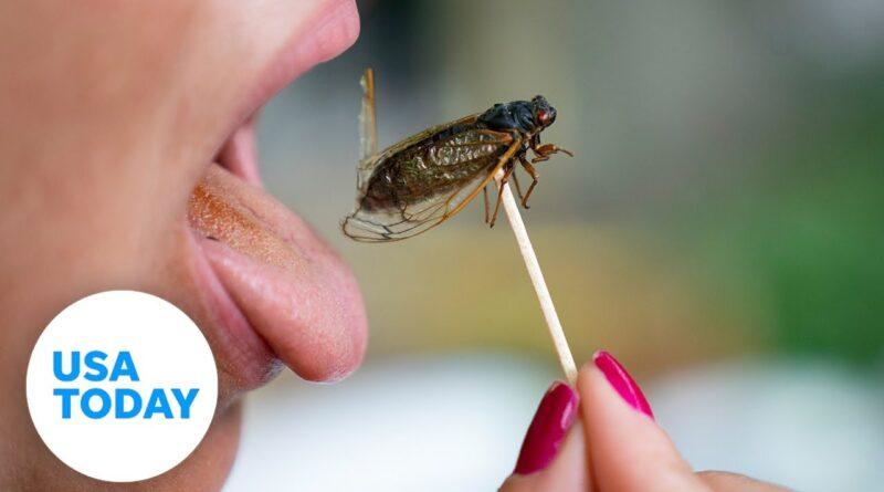 Curious palates dig into cicada as Brood X emerges on East Coast | USA TODAY