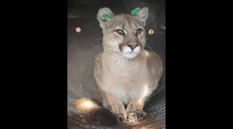 mountain-lion-hid-in-'heart-of-the-city'-under-family's-deck,-colorado-officials-say-–-miami-herald