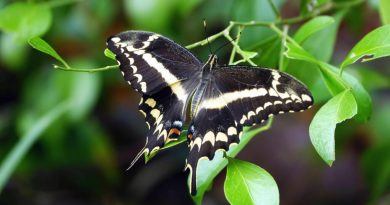 rare-florida-butterfly-bounces-back,-offers-lesson-for-saving-other-critters-–-florida-politics