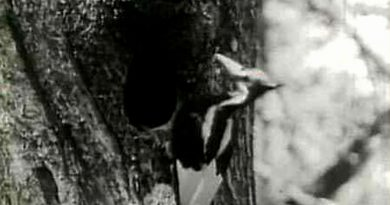 us.-to-declare-23-species,-including-ivory-billed-woodpecker,-extinct-–-reuters