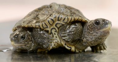 twice-as-nice:-two-headed-diamondback-terrapin-hatchlings-with-six-legs-in-massachusetts-–-usa-today